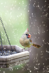 Female Cardinal on feeder in snow