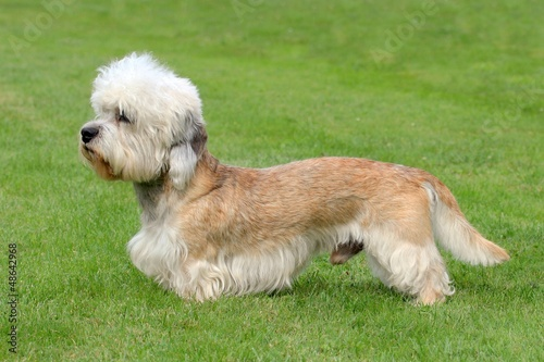 The funny Dandie Dinmont Terrier on the green grass