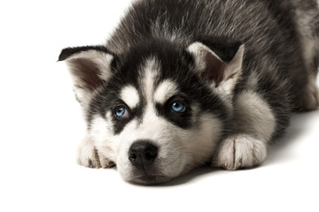 Adorable black and white with blue sleepy eyes Husky puppy lying