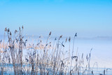 Reeds in winter