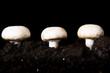 Edible button mushroom