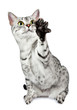 Playing egyptian mau cat