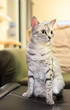 Comfortable Egyptian Mau Cat