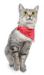 Silver Spotted Cat with Bandana
