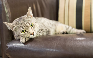 Comfortable Egyptian Mau Cat