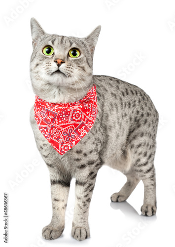 Poster Rood, zwart, wit Cute Spotted Cat with Bandana