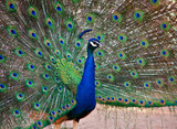 Fototapeta piękny - ptak - Ptak