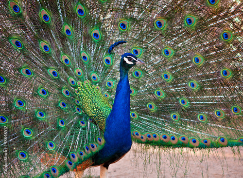 A Beautiful Male Peacock Displays his Plumage