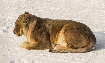 Liger (half lion, half tiger)  in Harbin China