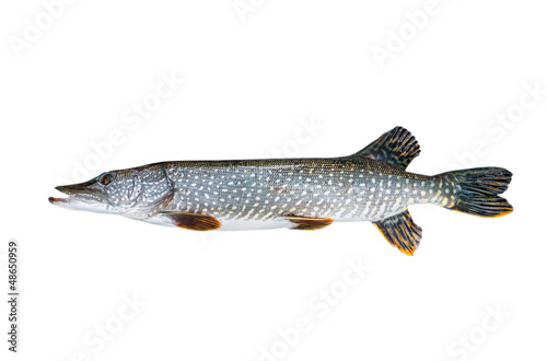 Freshwater pike closeup on white background