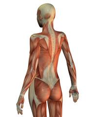 Anatomie Frau Oberkörper von hinten