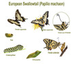 Swallowtail life cycle