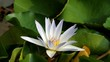 White lotus and green leaf