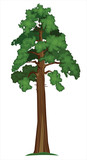 Fototapety Vector Sequoia