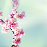 Cherry blossoms - 48661968