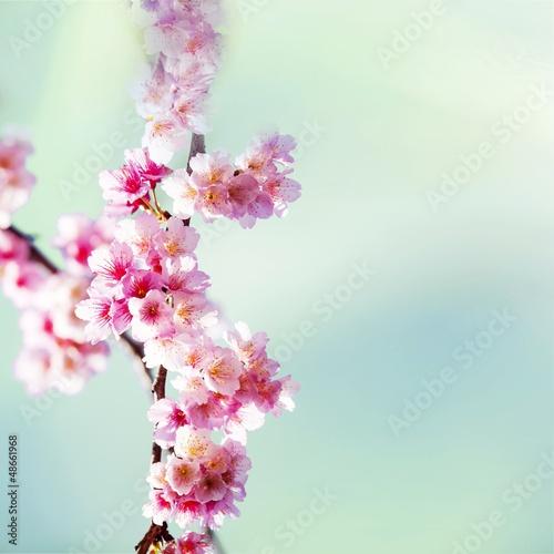 kwiaty-wisni