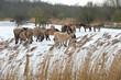 Herd of Konik horses in the snow in winter