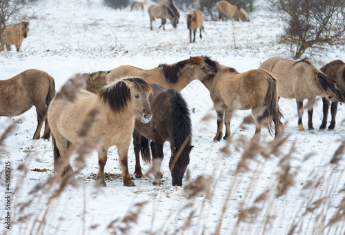 Herd of Konik horses in the snow in winter
