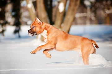 american staffordshire terrier dog running