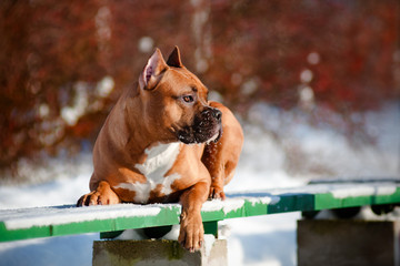 american staffordshire terrier dog portrait