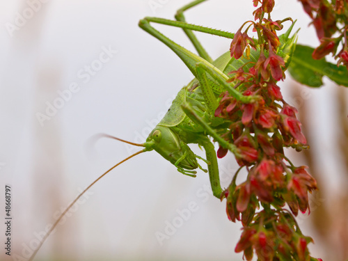 The Great Green Bush-Cricket