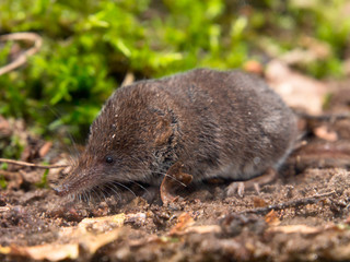 The Eurasian Pygmy Shrew