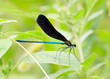 black dragonfly on the grass