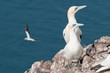 Beautiful northern gannets