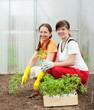 women planting tomato spouts