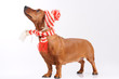 dachshund dog dressed into hat and scarf