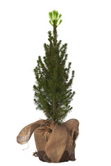 Decorative fir-tree