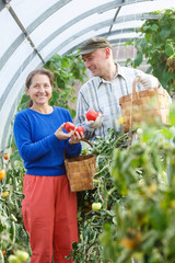 man and woman in  greenhouse with a crop of tomatoes