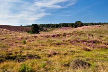 heather meadows in summer