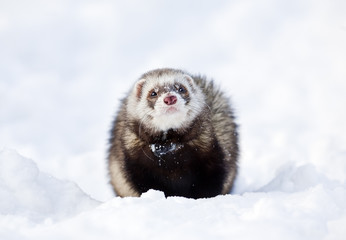 ferret on the snow