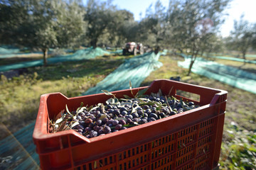 récolte des olives près de Nyons