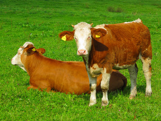 Calf with mother on meadow
