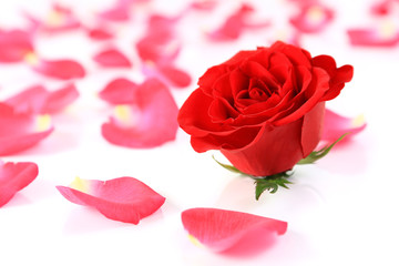Red rose and petals on white background