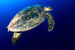 Hawksbill sea turtle in deep blue, Red Sea, Egypt.