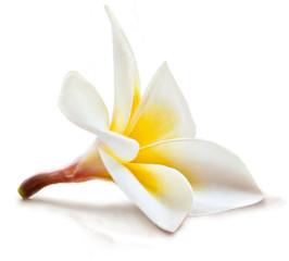 Isolated magnolia flower.