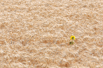 fleur de tournesol au milieu d'un champ de blé