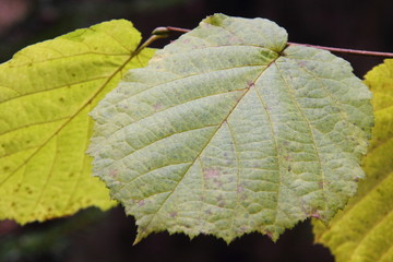 Hazel leaf. Autumn.