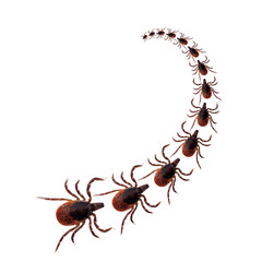 Tick insect procession over white background