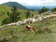 chien de berger gardant le troupeau de moutons
