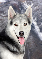 Beautiful siberian dog