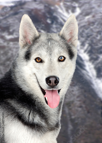 Beautiful siberian dog