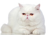Beautiful exotic shorthair cat
