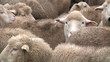 sheeps on the farm 4
