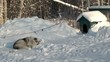Guard Dog in the cold winter is sleeping near the dog's kennel.