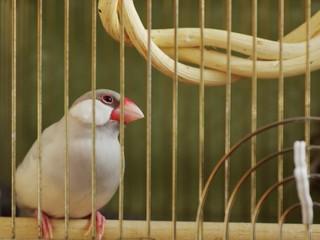 文鳥の憂鬱