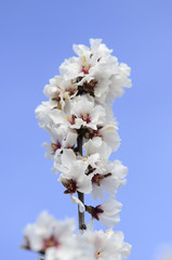 almond tree flowers